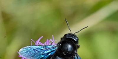 عقب انقراضه لسنوات .. علماء يكتشفون النحل الأزرق مجددا