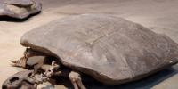 سلحفاة بحجم الإنسان.. اكتشاف مثير من عصر الديناصورات